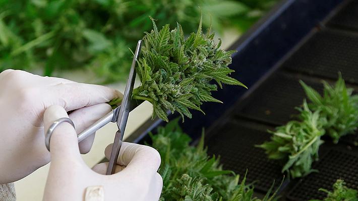 Colegio Médico fija su rechazo a proyecto de autocultivo de marihuana con fines medicinales