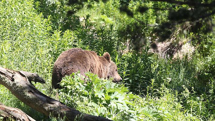 Cuestionan veracidad de la historia del hombre que habría estado cautivo en la cueva de un oso pardo en Rusia