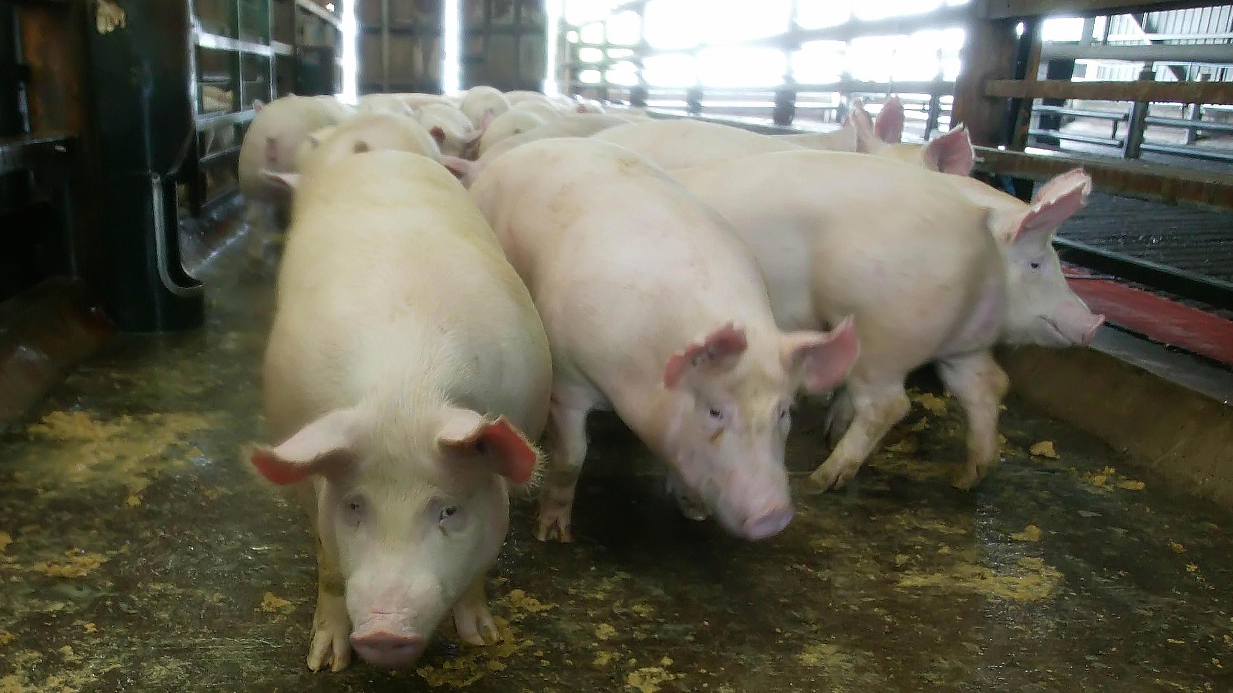 Gripe porcina afecta al mercado chino y el precio del cerdo se incrementa cerca de un 21,1% durante este año