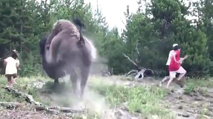 Video: Aterrador momento vivió una niña de nueve años al ser atacada por un bisonte en el parque Yellowstone