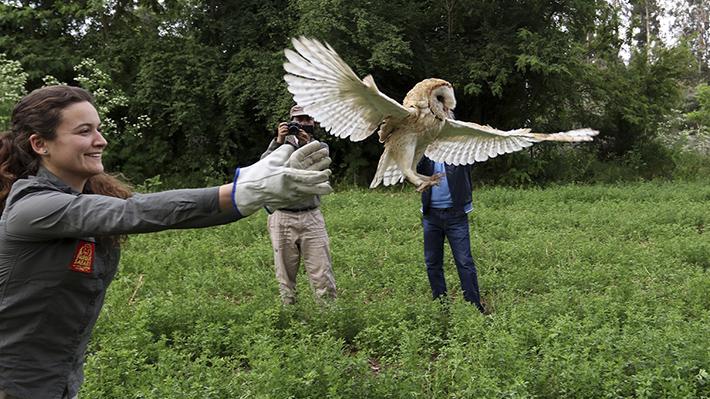 El positivo balance del safari en la Región de O'Higgins: Reinsertan 1 de cada 3 animales silvestres rescatados