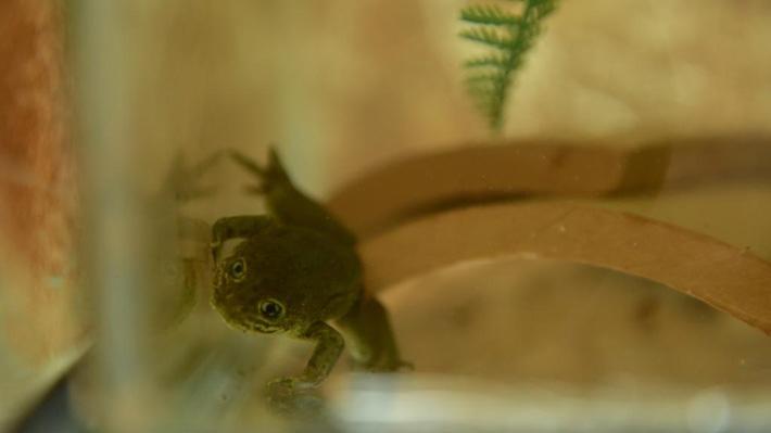 En peligro crítico de extinción: Sequía obliga a rescatar a las últimas 14 ranas del Loa