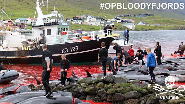 Impactantes imágenes dejó la tradición de cazar ballenas piloto en las Islas Feroe: ONG teme que se convierta en espectáculo