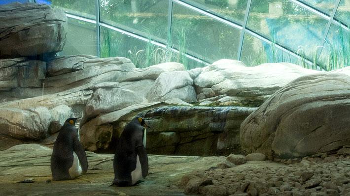 Pareja de pingüinos machos adoptaron un huevo en el zoológico de Berlín