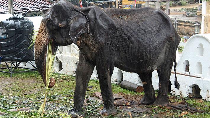 Desgarradoras imágenes muestran a una elefanta moribunda debido a la explotación de sus dueños en Sri Lanka