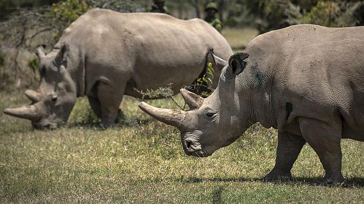 Científicos logran fecundar óvulos de hembras de rinoceronte blanco del norte en inédito procedimiento para salvar la especie