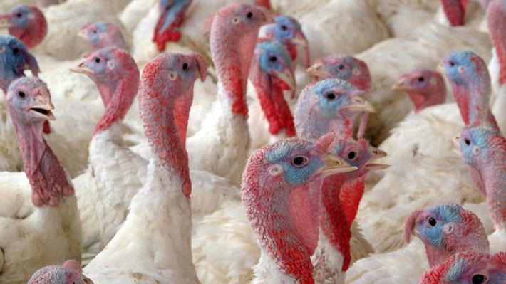 Más de 65 mil pavos sacrificados: El foco de gripe aviar que hizo que Perú y Argentina suspendieran importaciones chilenas