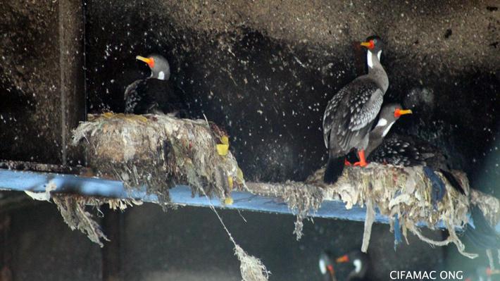 Aves urbanas y costeras utilizan con más frecuencia residuos plásticos para construir sus nidos