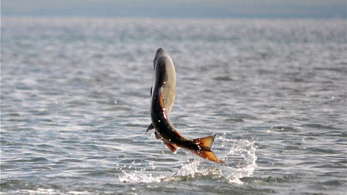 Escape masivo de salmones se produjo en centro de cultivo en Calbuco