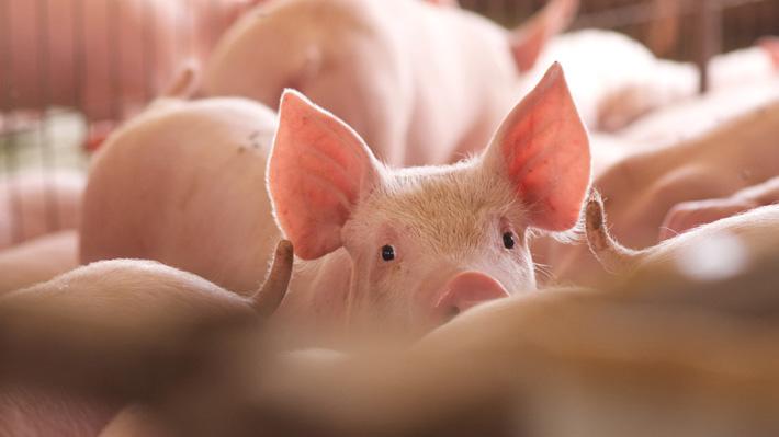 Precio del cerdo sigue aumentando en China y ciudadanos están preocupados por alza de uno de sus pilares alimenticios