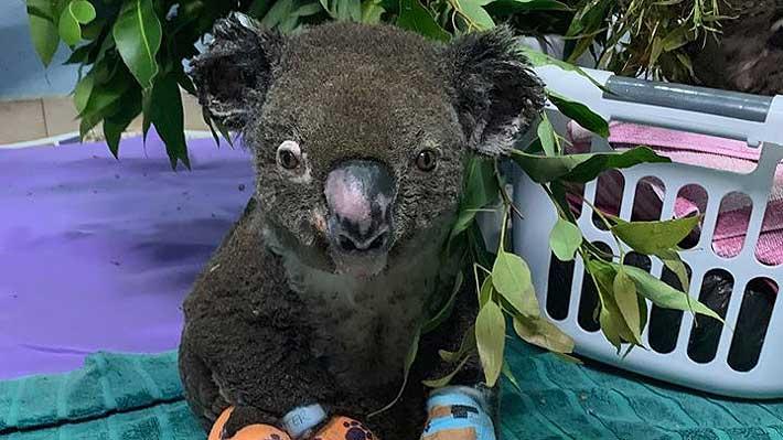 Murió Lewis, el koala rescatado durante los incendios forestales de Australia
