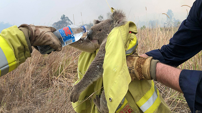 Incendios Forestales en Australia han acabado con la vida de alrededor del 25% de los koalas en la región