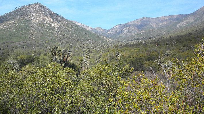 Registran cambio de color en bosques de La Campana debido a la megasequía
