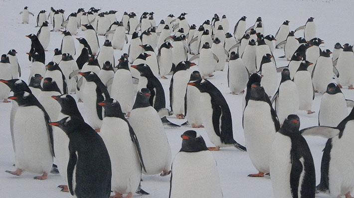 El alza de la temperatura en la Antártica afectaría la estabilidad de su fauna