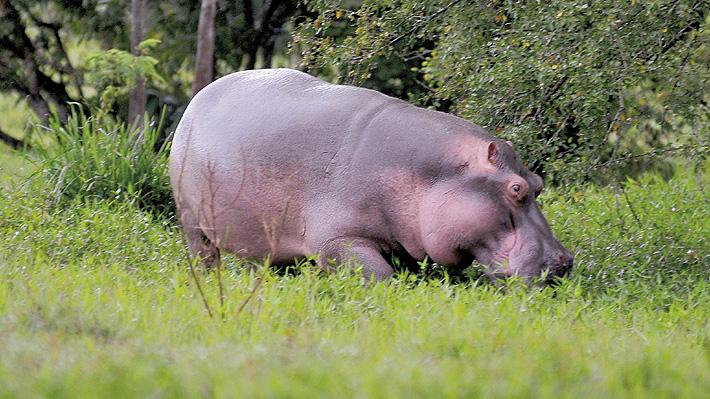 Hipopótamos importados por Pablo Escobar tienen a las autoridades colombianas en una lucha por el ecosistema local