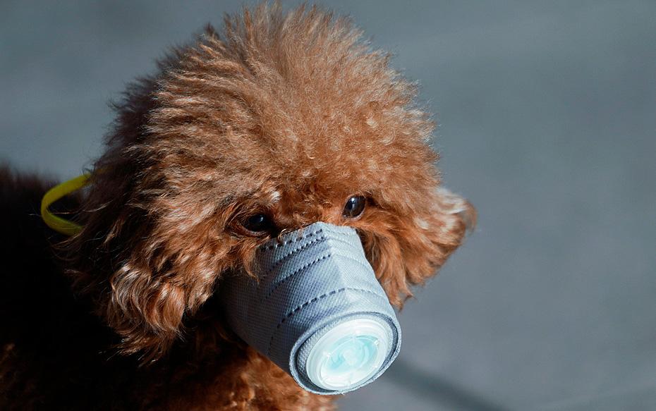 Galería: Dueños de mascotas en China protegen a sus animales con diferentes tipos de mascarillas ante el coronavirus