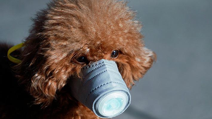 """Perro de paciente con coronavirus dio """"débil positivo"""" a test de la infección en Hong Kong: Fue puesto en cuarentena"""