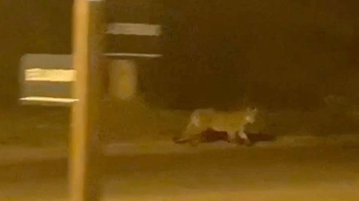Vecinos reportan que un puma recorre un condominio en Chicureo