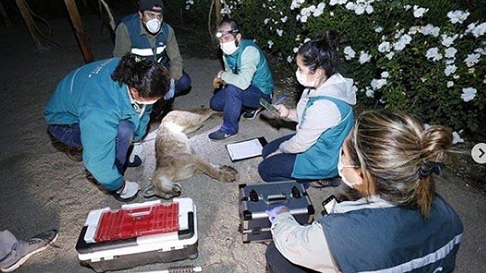 Personal del SAG rescata a puma desde el interior de un condominio en Chicureo