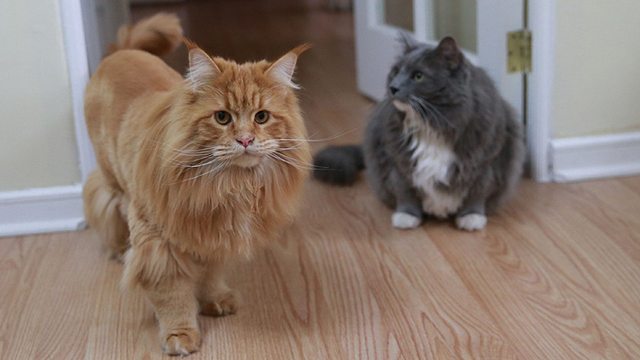Dos gatos dan positivo de covid-19 en Estados Unidos: Ambos presentan problemas respiratorios leves