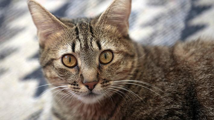Investigadores de Japón y EE.UU. sugieren que gatos asintomáticos podrían contagiar con covid-19 a otros felinos