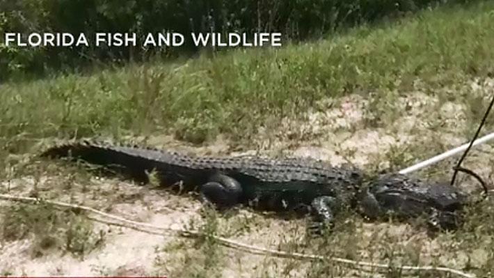 Joven de 14 años fue atacado por un caimán de 2,7 metros en un lago de Florida