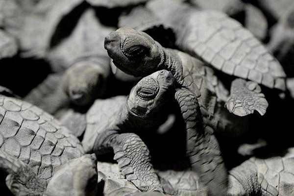 Conoce la difícil vida de las tortugas marinas: nacen miles, pero sólo un 1% llega a edad adulta