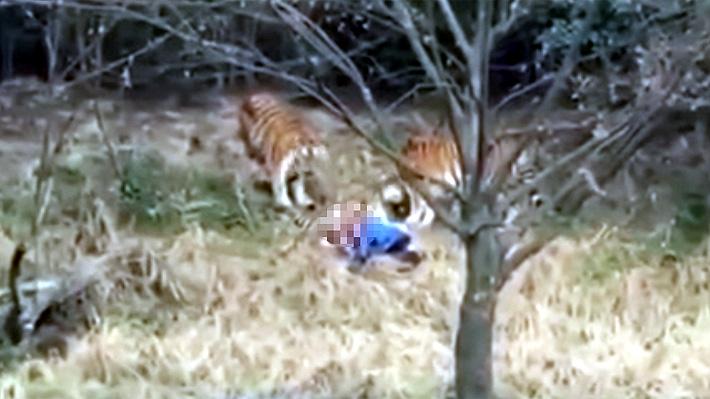 Hombre que murió atacado por un tigre en China intentaba entrar gratis al zoo