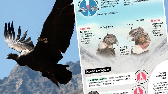 Infografía: Todo lo que hay que saber sobre el cóndor, el emperador de los Andes