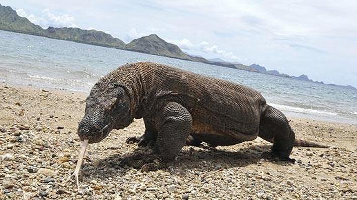 Es el reptil venenoso más grande del mundo: Un dragón de Komodo atacó a un turista en Indonesia