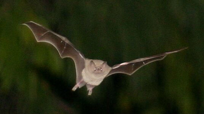 Los científicos revelaron cómo los murciélagos vampiro se ayudan mutuamente para sobrevivir