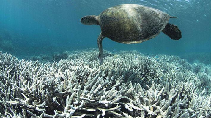 Alertan que el impacto en la Barrera de Coral australiana es peor de lo pensado