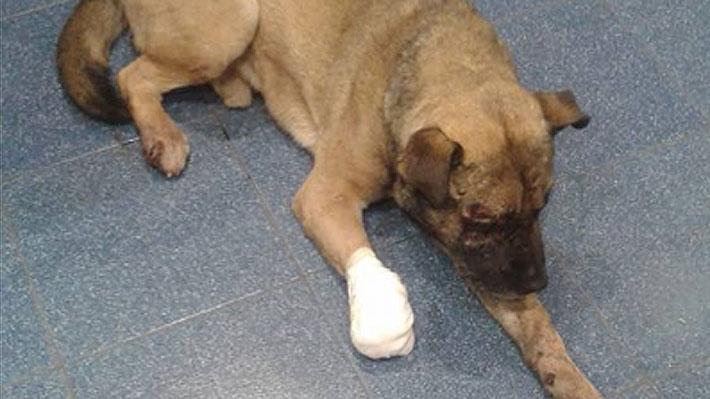 Denuncian caso de maltrato animal: Tres perros fueron amarrados a una línea férrea en Chillán